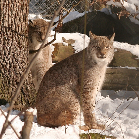Lynx tracking