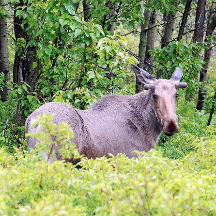 Moose Management Plan Underway