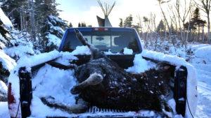 moose harvest2