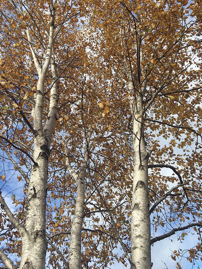 Our Unama'ki forests: Maskwi